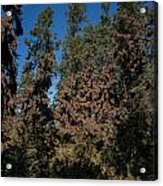 Trees Covered With Monarch Butterflies Acrylic Print