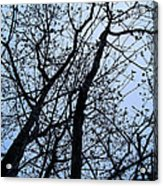 Trees From Below Acrylic Print