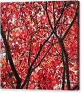 Trees Of Autumn Acrylic Print