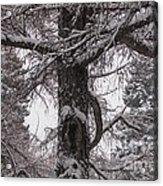 Trees Under Snow Acrylic Print