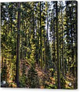 Trees With Moss In The Forest Acrylic Print