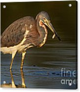 Tricolor Heron With Small Fish Acrylic Print