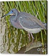 Tri-colored Heron Acrylic Print