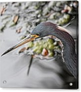 Tri Colored Heron Profile Acrylic Print
