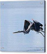 Tri Colored Heron Take Off Acrylic Print