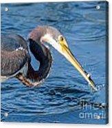 Tri Fish Splash Acrylic Print