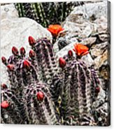 Trichocereus Cactus Flowers Acrylic Print