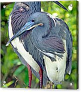 Tricolor Heron Adults In Breeding Acrylic Print