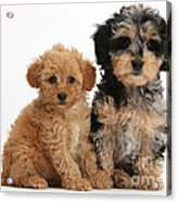 Tricolor Merle Daxie-doodle And Red Toy Acrylic Print