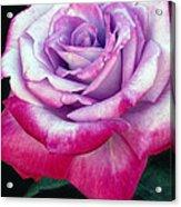 Tricolor Rose Acrylic Print