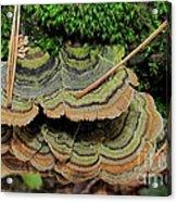 Tricolor Turkeytail Acrylic Print