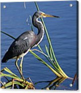 Tricolored Heron At The Pond Acrylic Print
