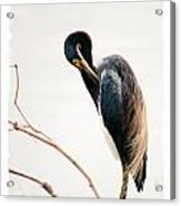 Tricolored Heron Card Acrylic Print