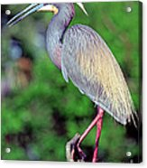 Tricolored Heron In Breeding Plumage Acrylic Print