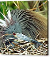 Tricolored Heron Incubating Eggs Acrylic Print