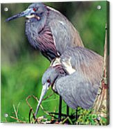 Tricolored Heron Male And Female At Nest Acrylic Print
