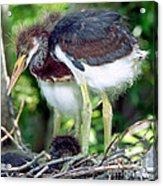 Tricolored Heron Nestlings Acrylic Print