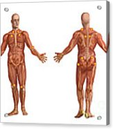 Trigger Points On The Human Body Acrylic Print