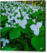 Trillium Forever Acrylic Print by Thomas Pettengill