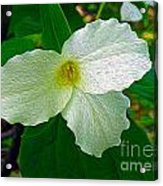 Trillium In The Forest Acrylic Print