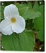 Trillium Near The River Acrylic Print