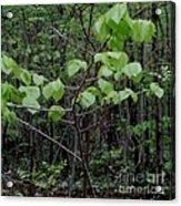Trilliums Grow Deep Inside Forest Acrylic Print