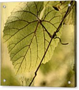 Trinity Grape Leaves Acrylic Print by Amy Neal
