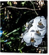 Trio Of Orchids Acrylic Print by Shawn Lyte