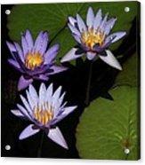 Trio Of Purple Water Lilies Acrylic Print