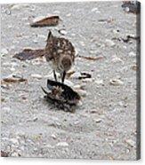 Trio Of Shore Birds Acrylic Print