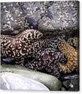Trio Of Starfish Acrylic Print