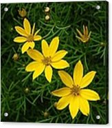 Trio Of Yellow Flower Blossoms Acrylic Print