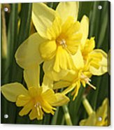 Tripartite Daffodil Acrylic Print
