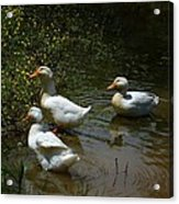 Triple Ducks Acrylic Print
