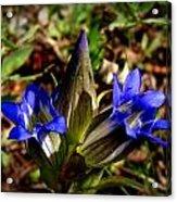 Triple Mountain Gentian Blooms Acrylic Print