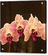 Triple Orchid Arrangement 1 Acrylic Print by Douglas Barnett