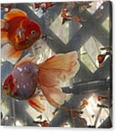 Triple Tail Goldfish Acrylic Print