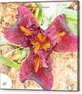 Tristar Iris Acrylic Print