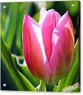 Triumph Tulip Acrylic Print