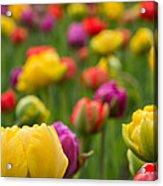 Triumphant Tulips Acrylic Print