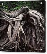 Troots Of A Fallen Tree By Wawa Ontario Acrylic Print