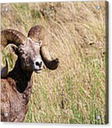 Trophy Bighorn In The Grass Acrylic Print