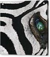 Trophy Hunter In Eye Of Dead Zebra Acrylic Print