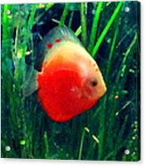 Tropical Discus Fish Acrylic Print by Amy Vangsgard
