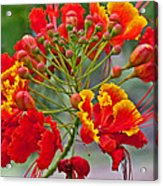 Tropical Flower Caesalpinia Red And Yellow Acrylic Print