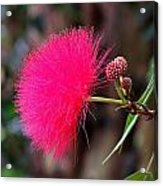 Red Mimosa Flower Acrylic Print