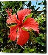 Tropical Hibiscus 002 Acrylic Print