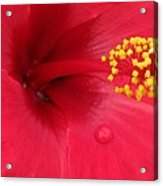 Tropical Hibiscus - Antigua Wind 01 Acrylic Print