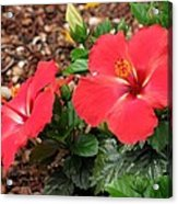 Tropical Hibiscus - Starry Wind 01 Acrylic Print