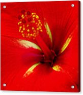 Tropical Hibiscus - Starry Wind 02a Acrylic Print